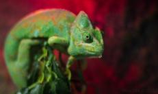 The Veild Chameleon