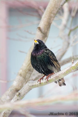 Startling Starling